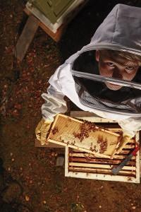 Mehiläispesän kennostoissa asuu kymmeniätuhansia pörrääjiä.