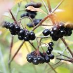 Mustamarja-aronia antaa marjasatoa puistoista.