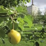 Julkisten paikkojen päärynä- ja muut hedelmäpuut ovat usein vanhojen puutarhojen jäänteitä.