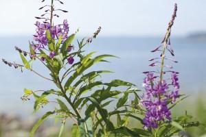 Maitohorsman kukat: mikä ihana väri ja vieno, metinen maku.