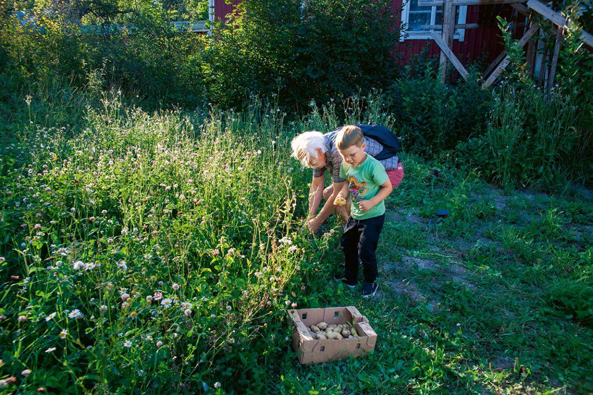 Vanha mies ja pieni poika poimivat kasvimaan antimia yhdessä. Aurinko paistaa.