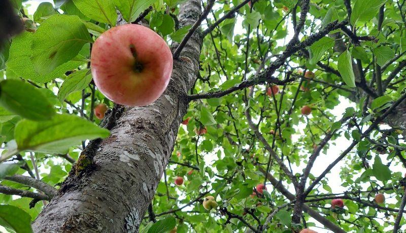 Onni on: flunssa ja pohjaan palanut omenasose