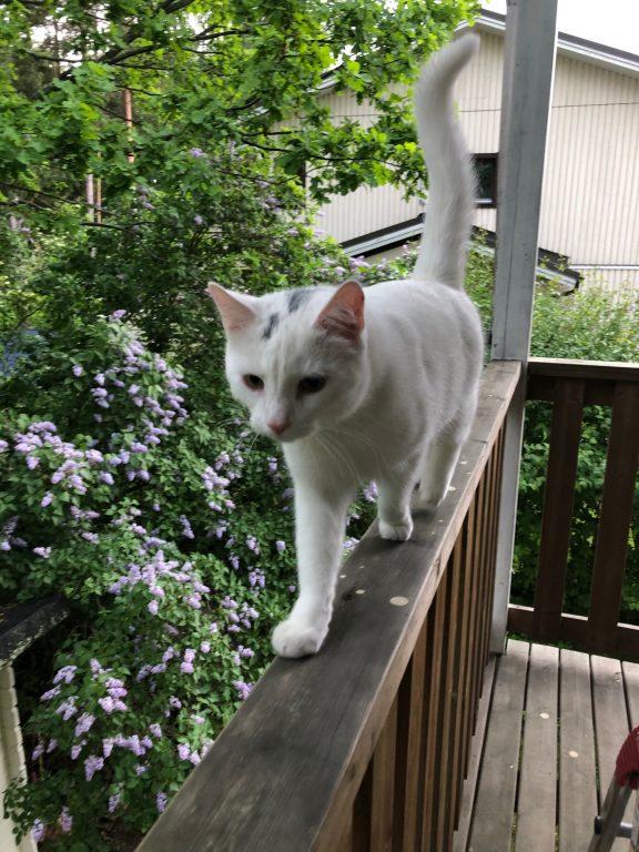 Valkoinen kissa kävelee kaiteella