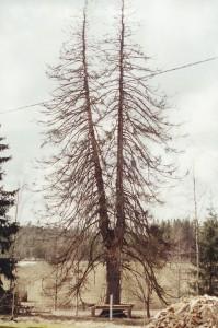 Martti Kitusen kaksihaarainen noin 200-vuotias uhrikuusi Virroilla kitui huonoon kuntoon ja kaadettiin 2001. (Kuva Suomen Metsästysmuseo)